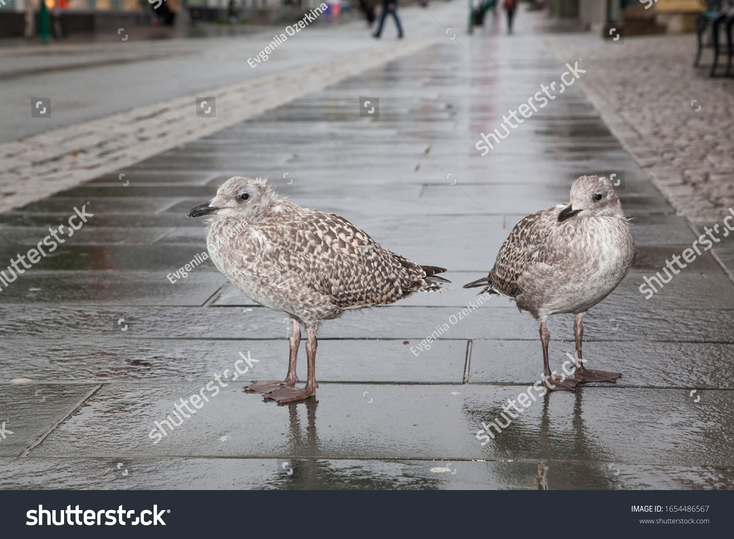 two great skuas in the city Tromso in Norway. The birds stand on the sidewalk.  Arctic wildlife fauna concept
