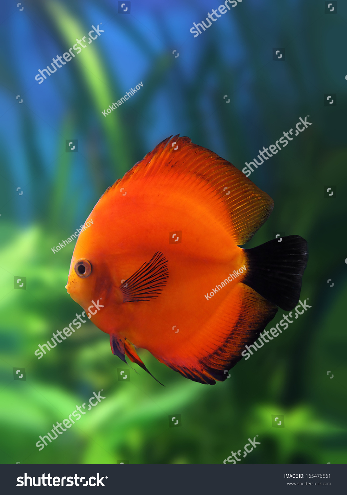 Red Discus Fish Aquarium Underwater Stock Photo (Royalty Free ...