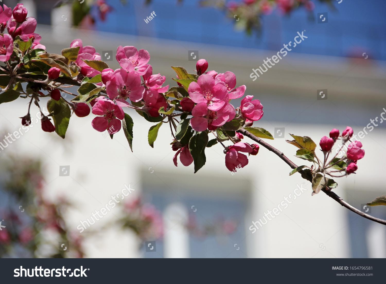 stock-photo-spring-apple-blossom-beautif
