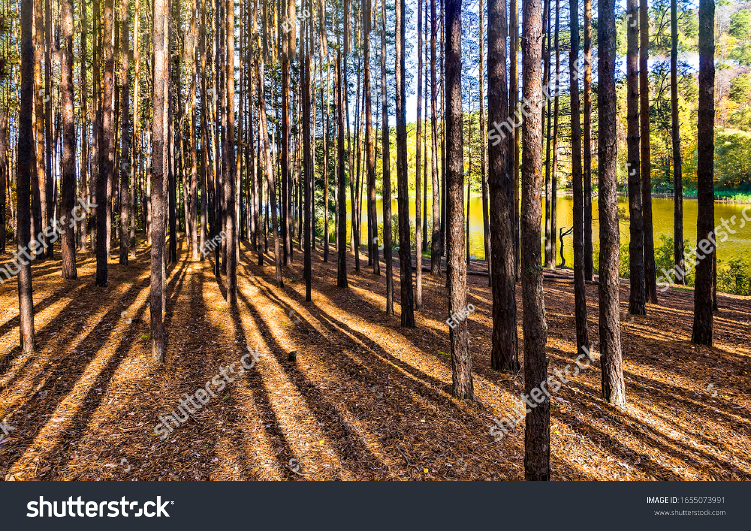 Pine tree forest. Forest trees shadows. Pine forest trees. Forest trees #1655073991