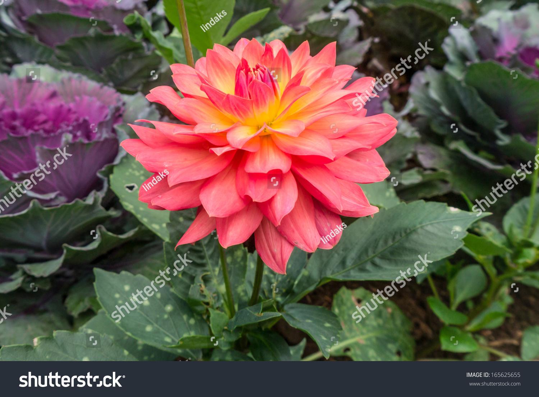 Beautiful Dahlia Flower Garden Thailand Stock Photo Edit Now