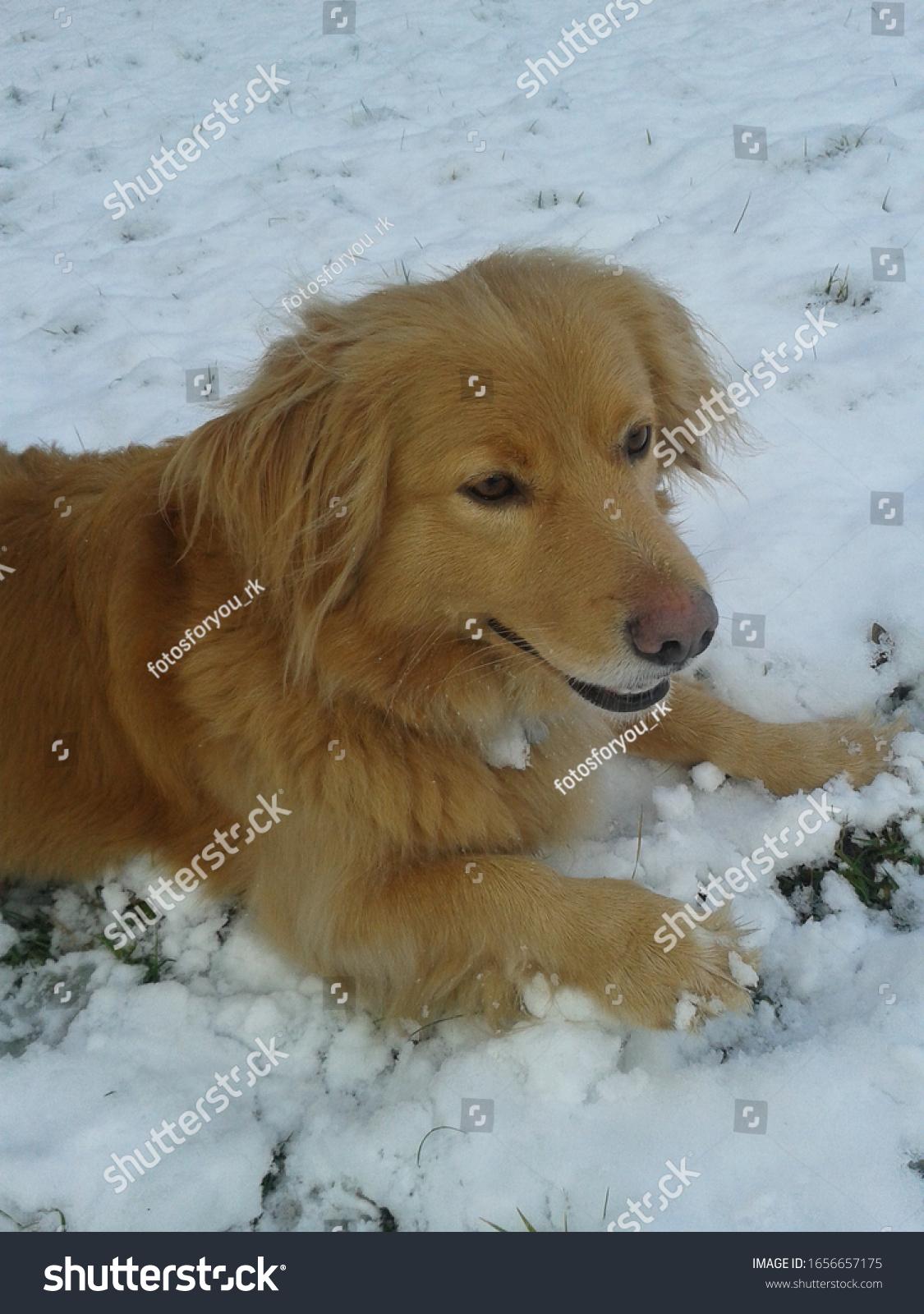 stock-photo-mixed-breed-dog-has-fun-in-the-snow-dog-lies-in-the-snow-and-rests-dog-has-snow-in-his-body-1656657175.jpg