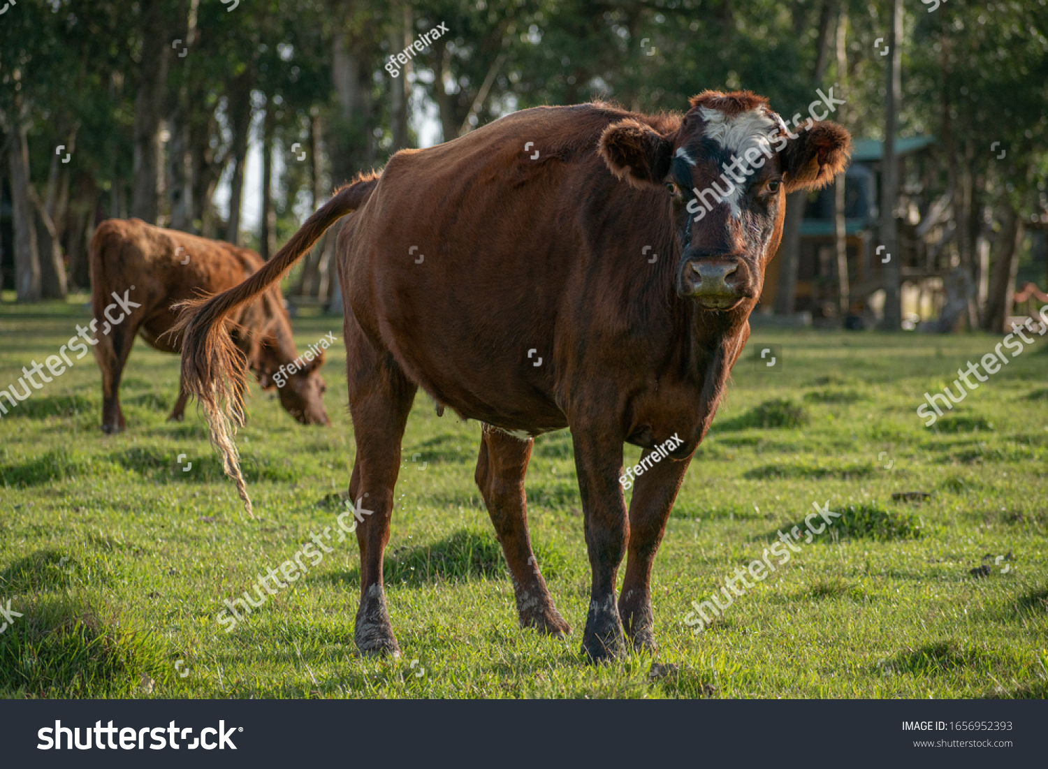 stock-photo-brown-cow-at-a-field-1656952