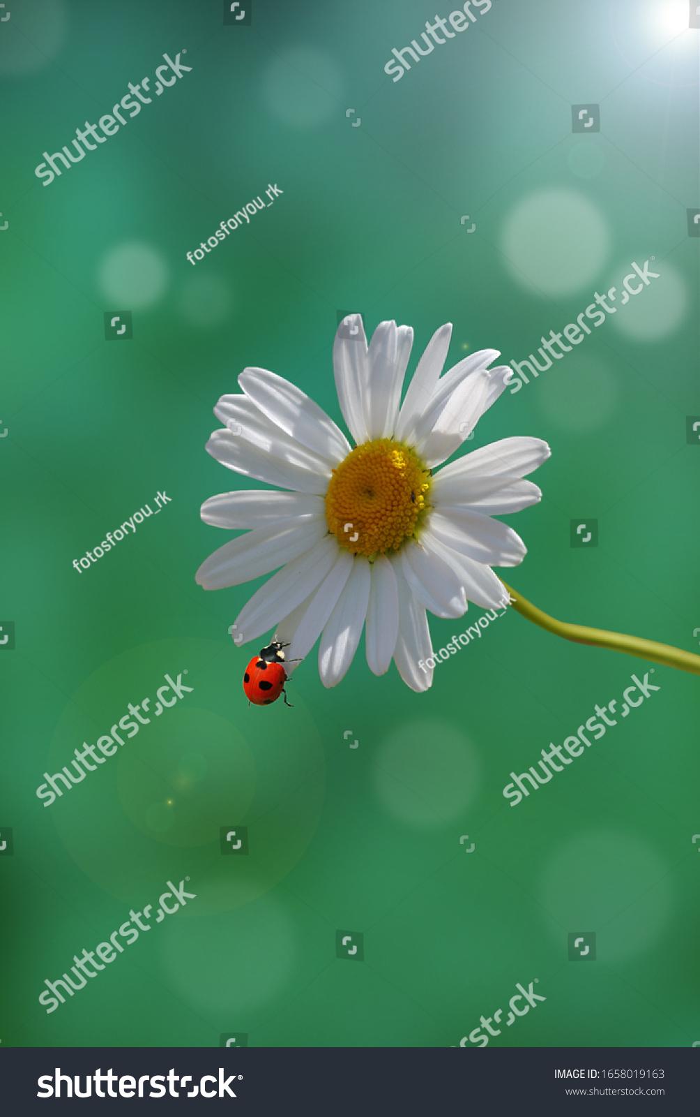 Ladybug sits on a white daisy