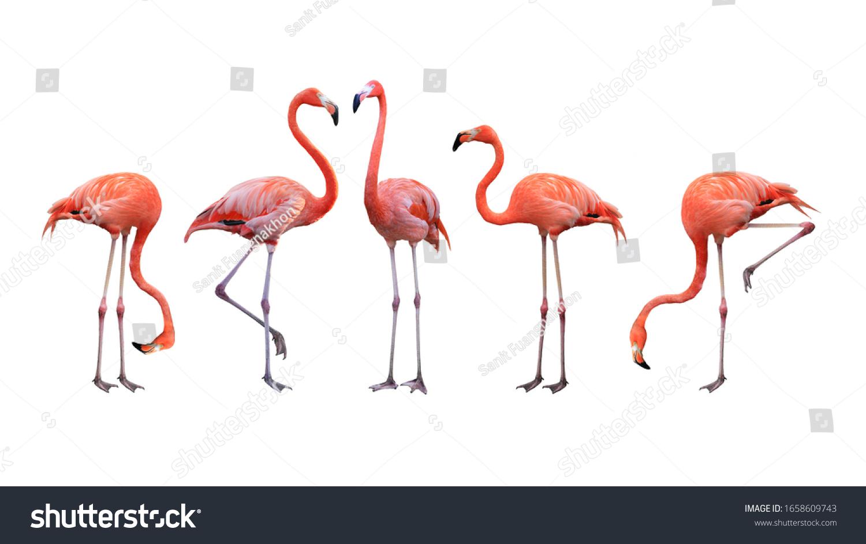 Flamingo bird animal set photo isolated on white background. This has clipping path.  #1658609743