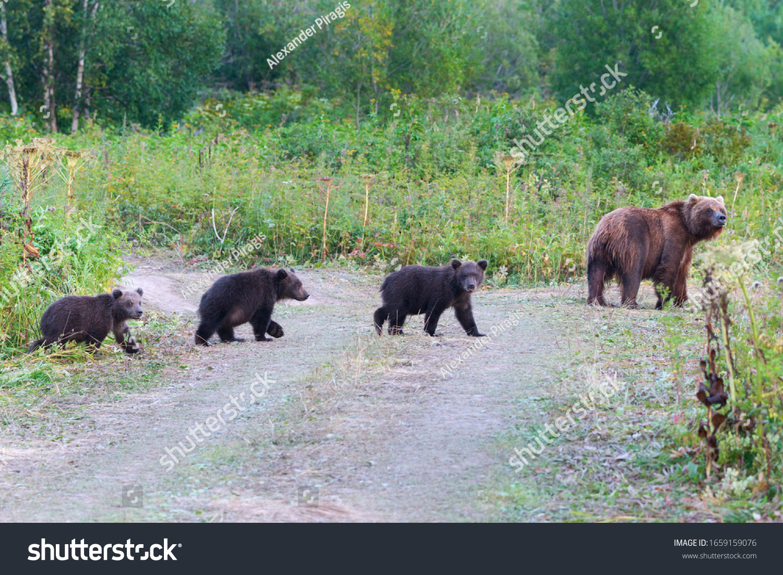 stock-photo-kamchatka-brown-she-bear-com