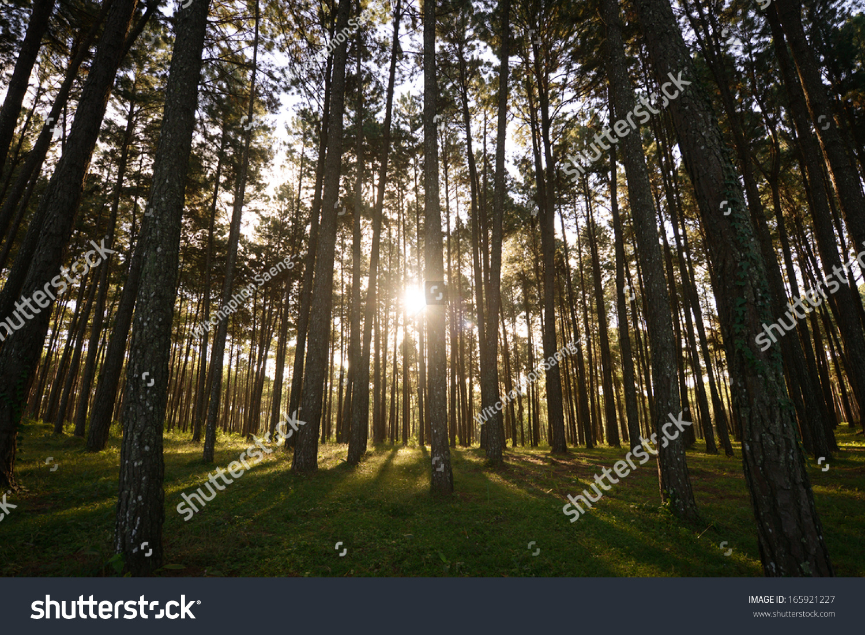 Sun Rise Pine Tree Garden Bo Kaeo Stock Photo (Royalty Free ...