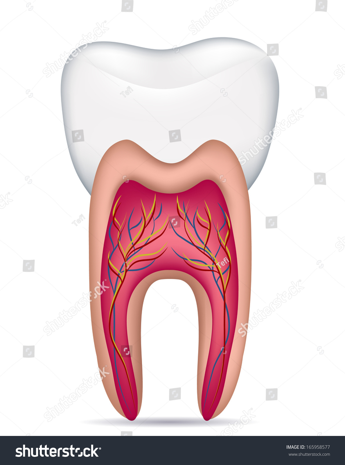 Healthy White Tooth Illustration Detailed Anatomy Stock Illustration ...