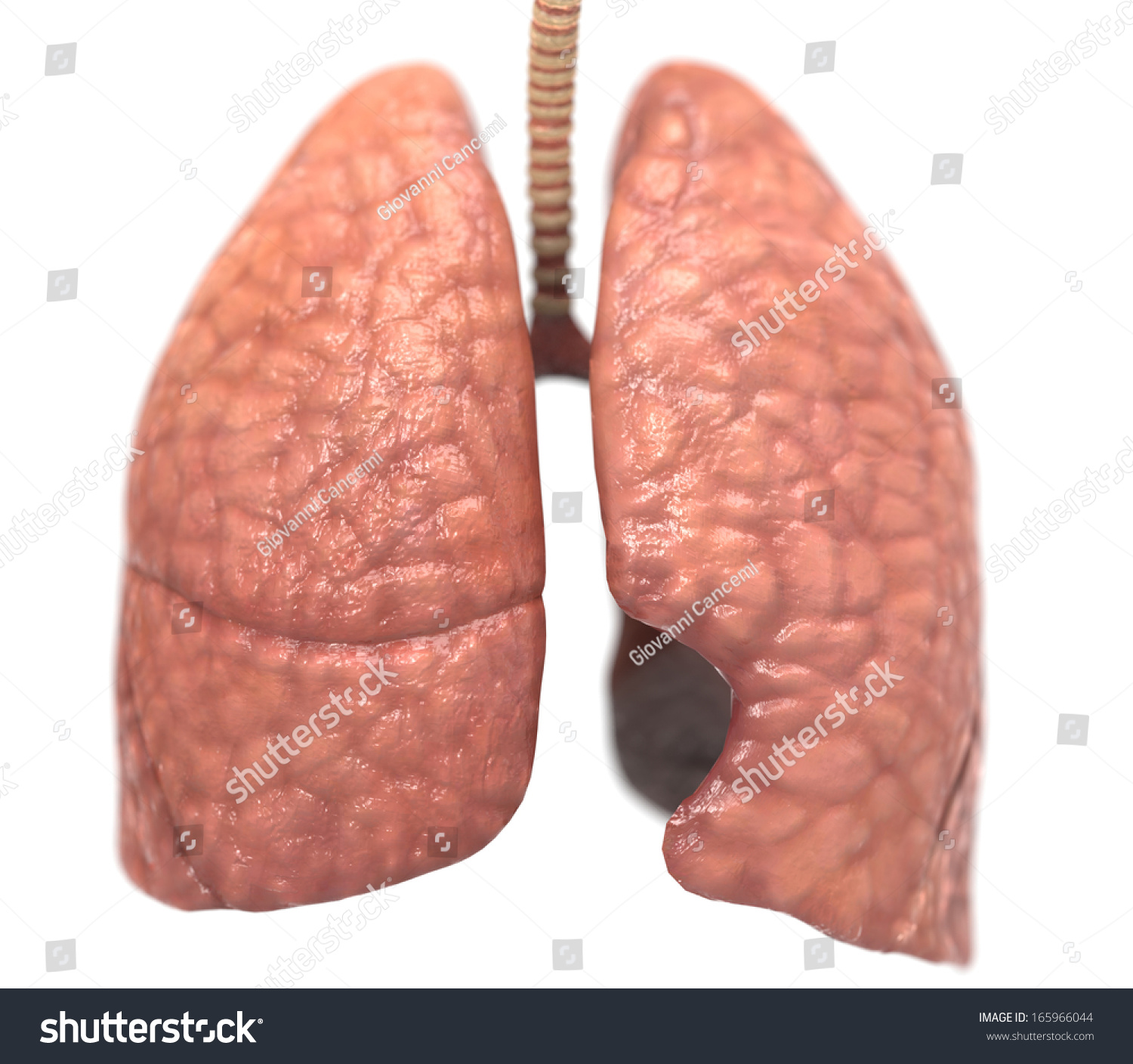 Healthy Lungs Stock Illustration 165966044 - Shutterstock
