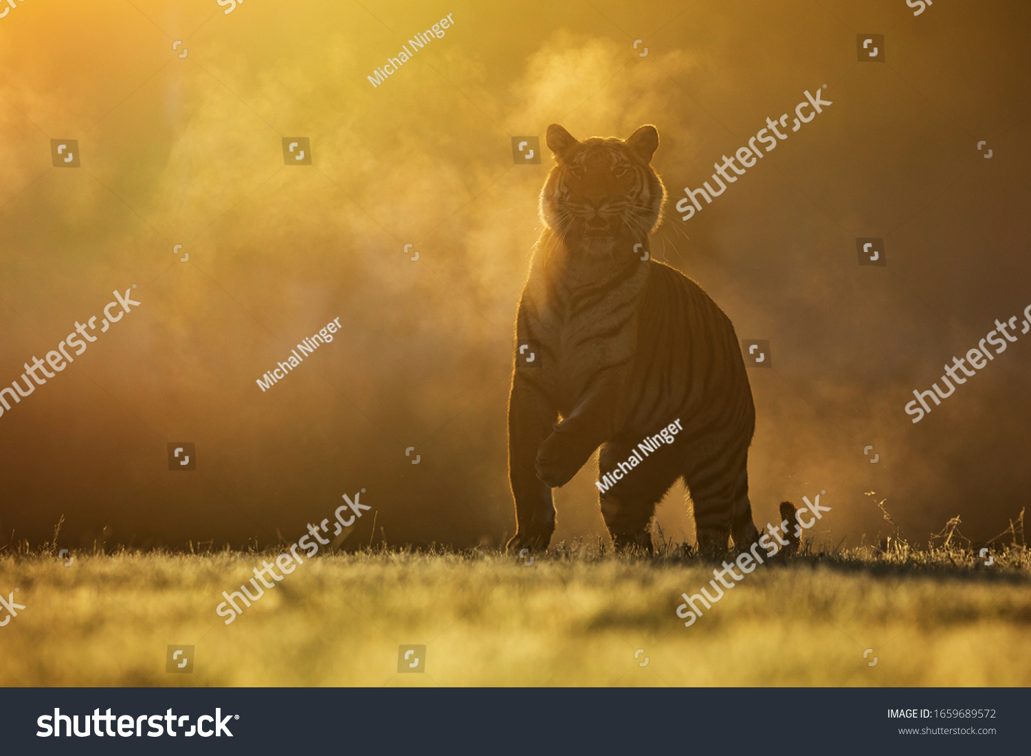 Siberian tiger (Panthera tigris tigris) in the morning mist with steam from its mouth