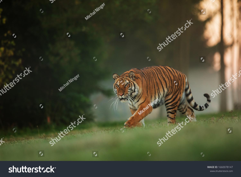 Siberian tiger (Panthera tigris tigris) in the morning fog