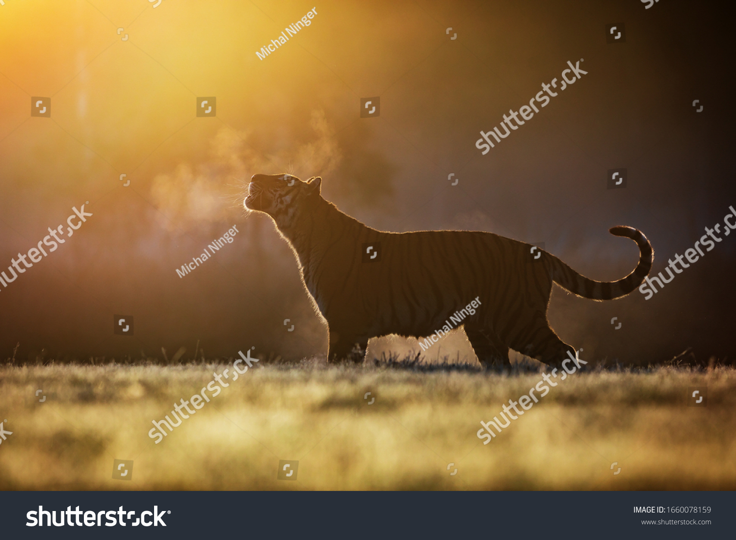 Siberian tiger (Panthera tigris tigris) it blows in the morning mist with steam from your mouth