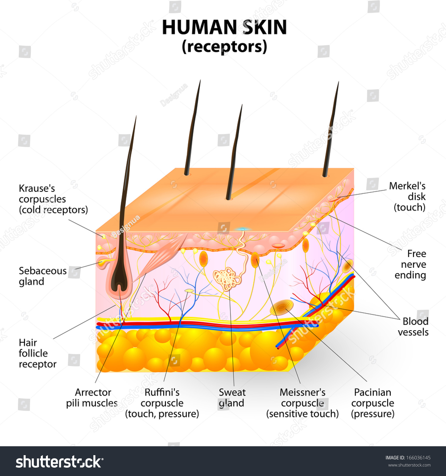 Human skin layer cross section stock illustration 166036145 human skin layer cross section pooptronica Image collections