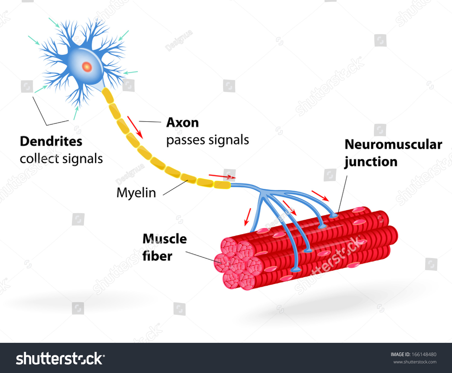 Structure motor neuron include dendrites cell stock for What is a motor neuron