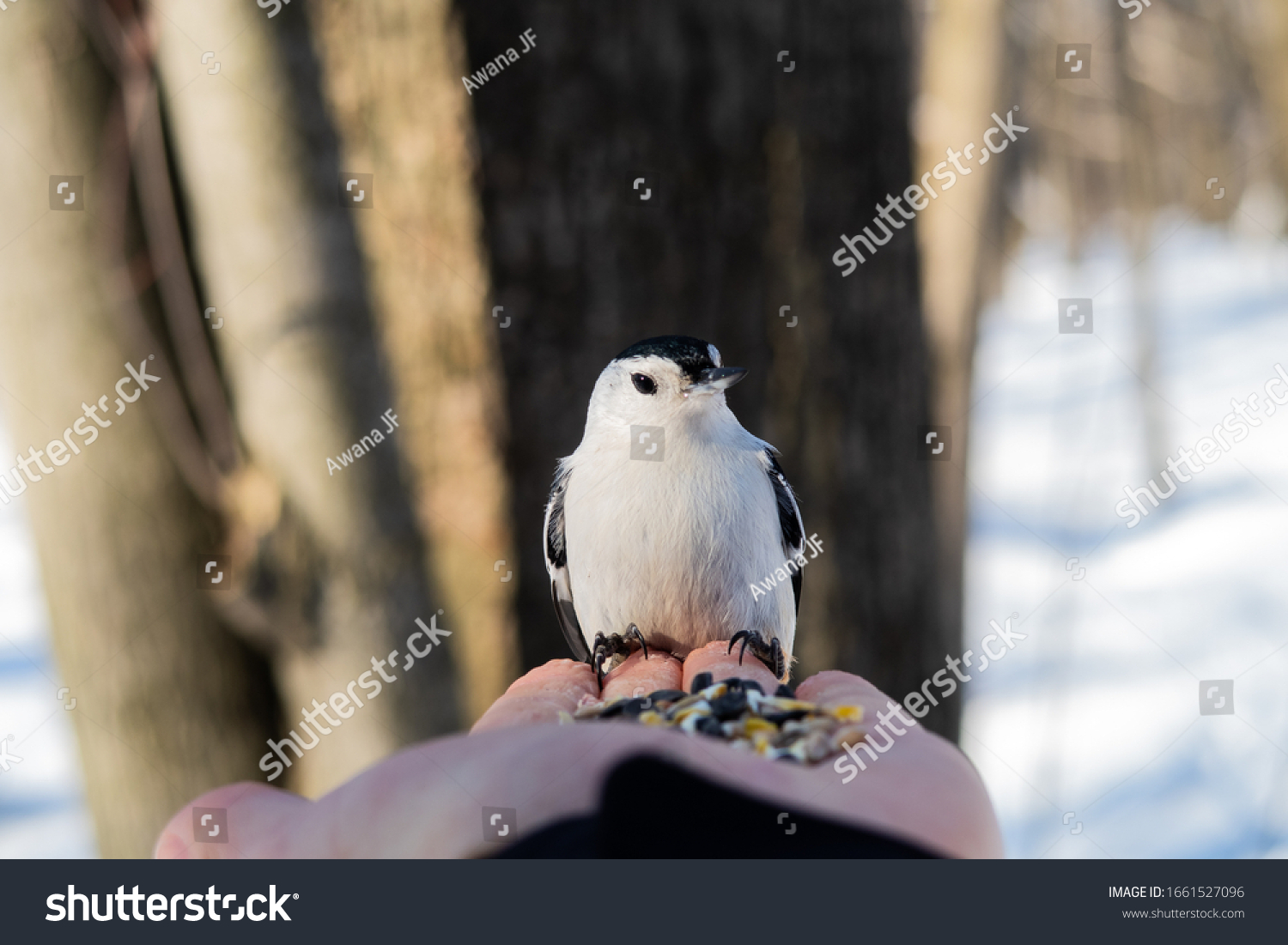 stock-photo-closeup-of-a-white-breasted-