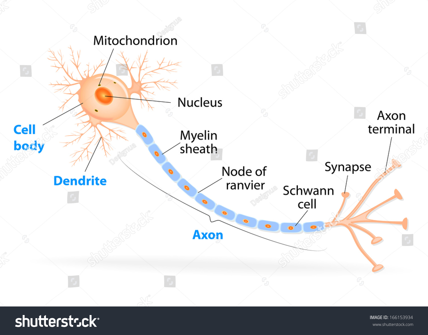 Anatomy typical human neuron axon synapse stock illustration anatomy of a typical human neuron axon synapse dendrite mitochondrion myelin ccuart Gallery