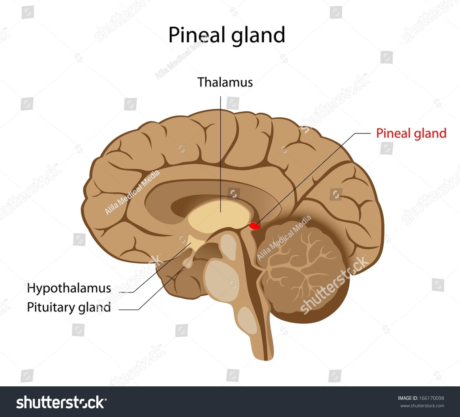 Pineal Gland Labeled Diagram Stock Illustration 166170098 - Shutterstock