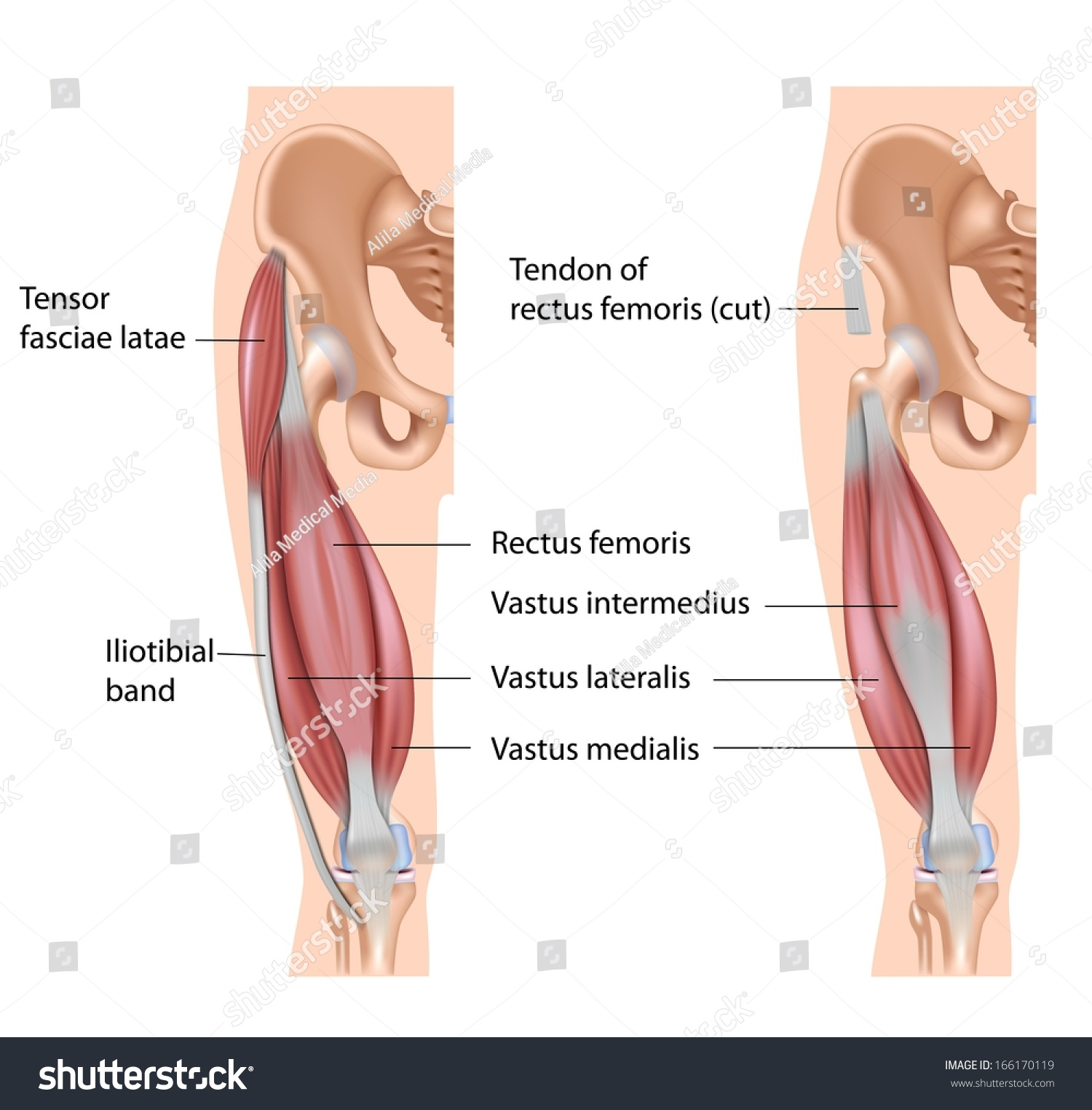 Quadriceps Muscle Labeled Stock Illustration 166170119 - Shutterstock