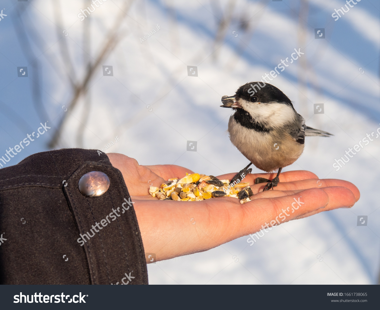 Black-capped chickadee standing on an open hand in winter at Saint Bruno National Park, Quebec, Canada