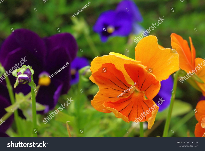 Schöne violette Pustikblume, Nahaufnahme von bunter Pustikblume. Die Gartenpansie ist eine Art großblütige Hybridpflanze, die als Gartenblume angebaut wird.