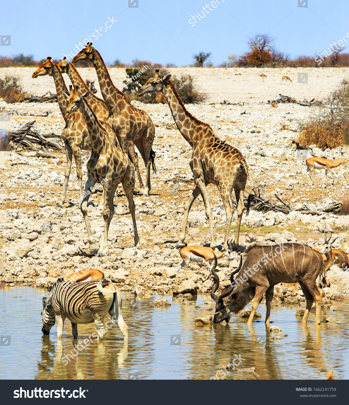 Tower of Giraffe at a waterhole, with zebra, Kudu and impala in the foreground, and a dry rocky savannah and blue sky in the distance. Etosha National Park, Namibia