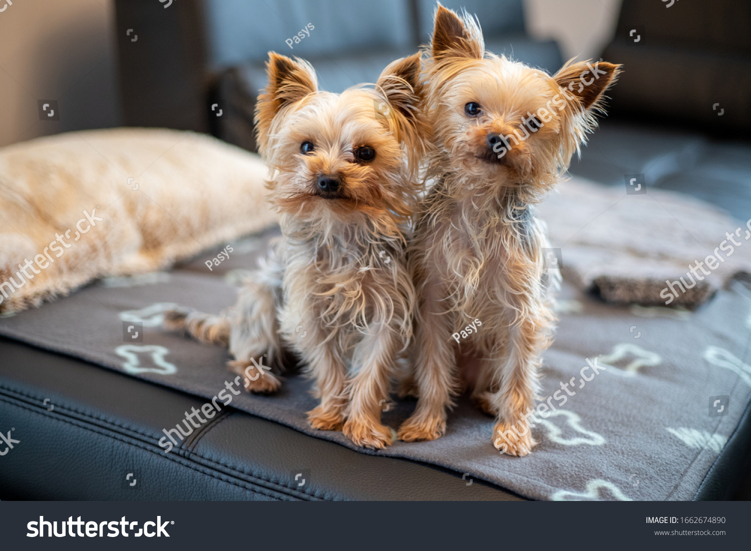 stock-photo-close-up-of-yorkshir-terrier