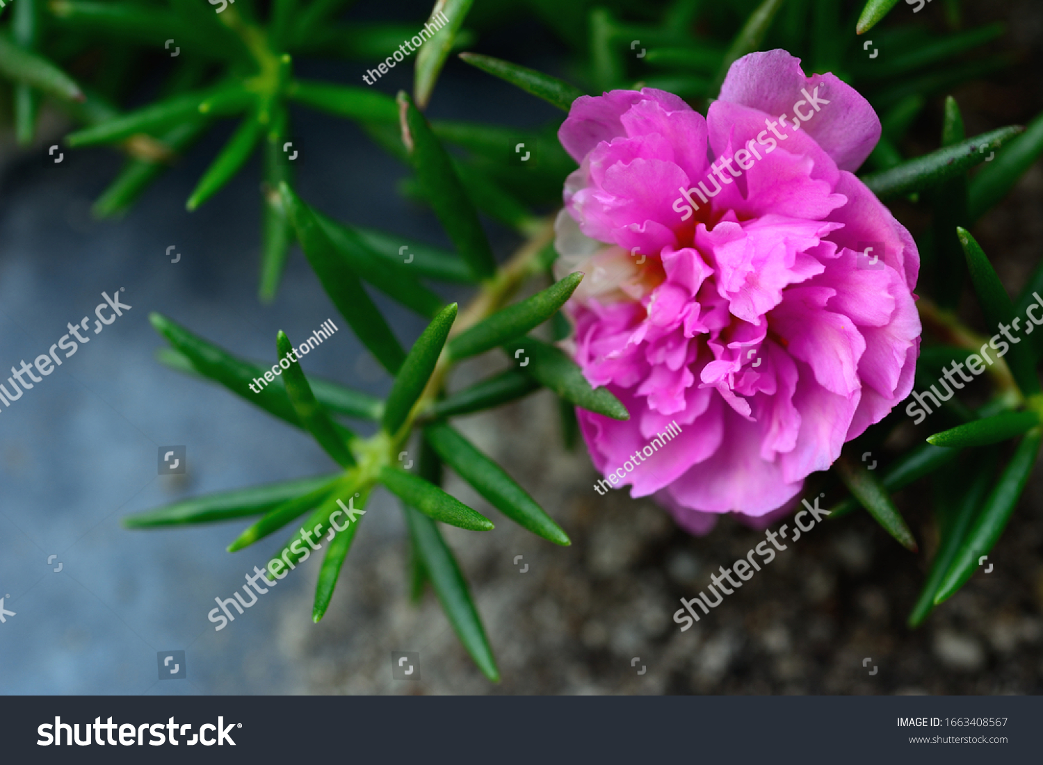 Rose Japanese Images Stock Photos Vectors Shutterstock