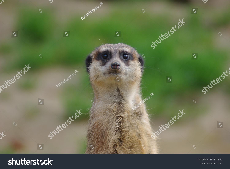 Porträt von Meerkat Suricata suricatta, einheimisches afrikanisches Tier