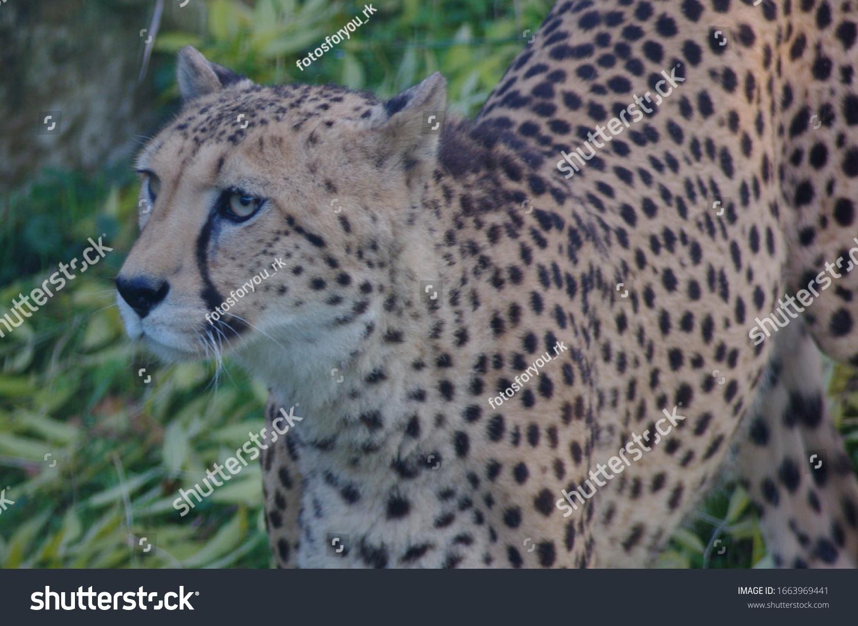 Cheetah sucht Beute