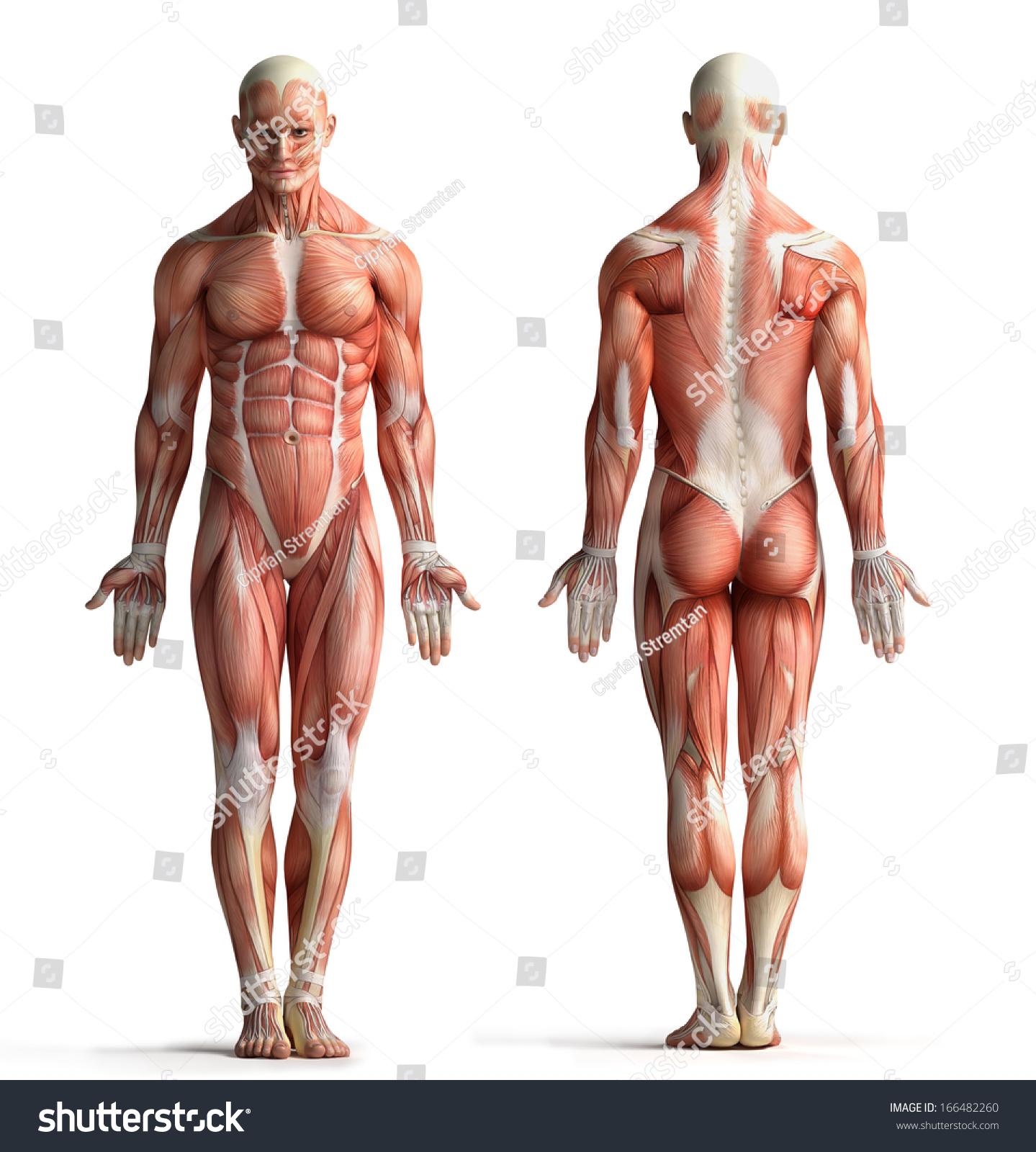 Male Anatomy View Stock Illustration 166482260 Shutterstock