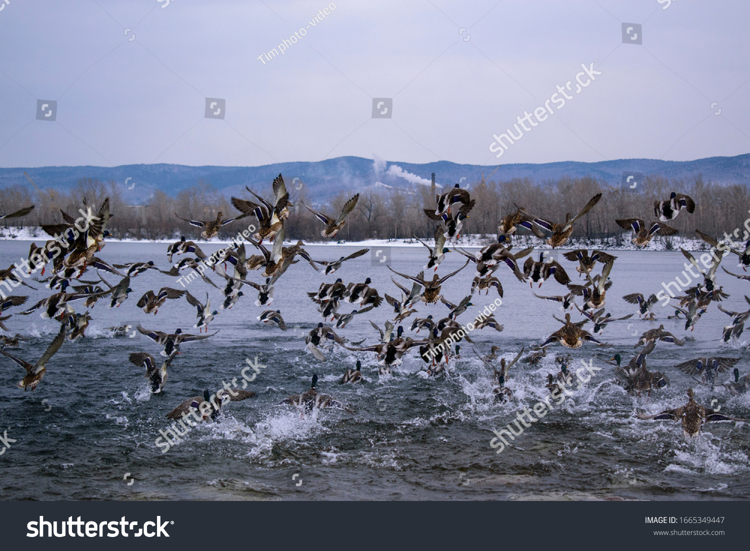 stock-photo-flock-of-ducks-fly-in-flight
