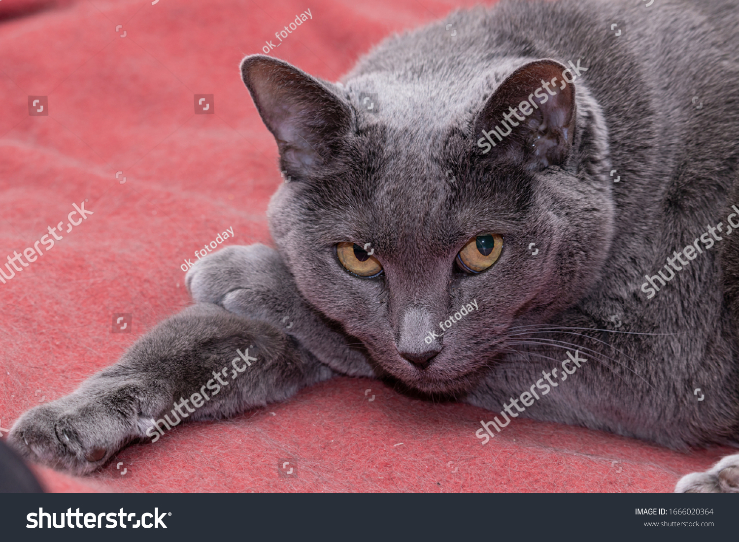 Elderly gray cat resting his head on his paw and looking at the camera