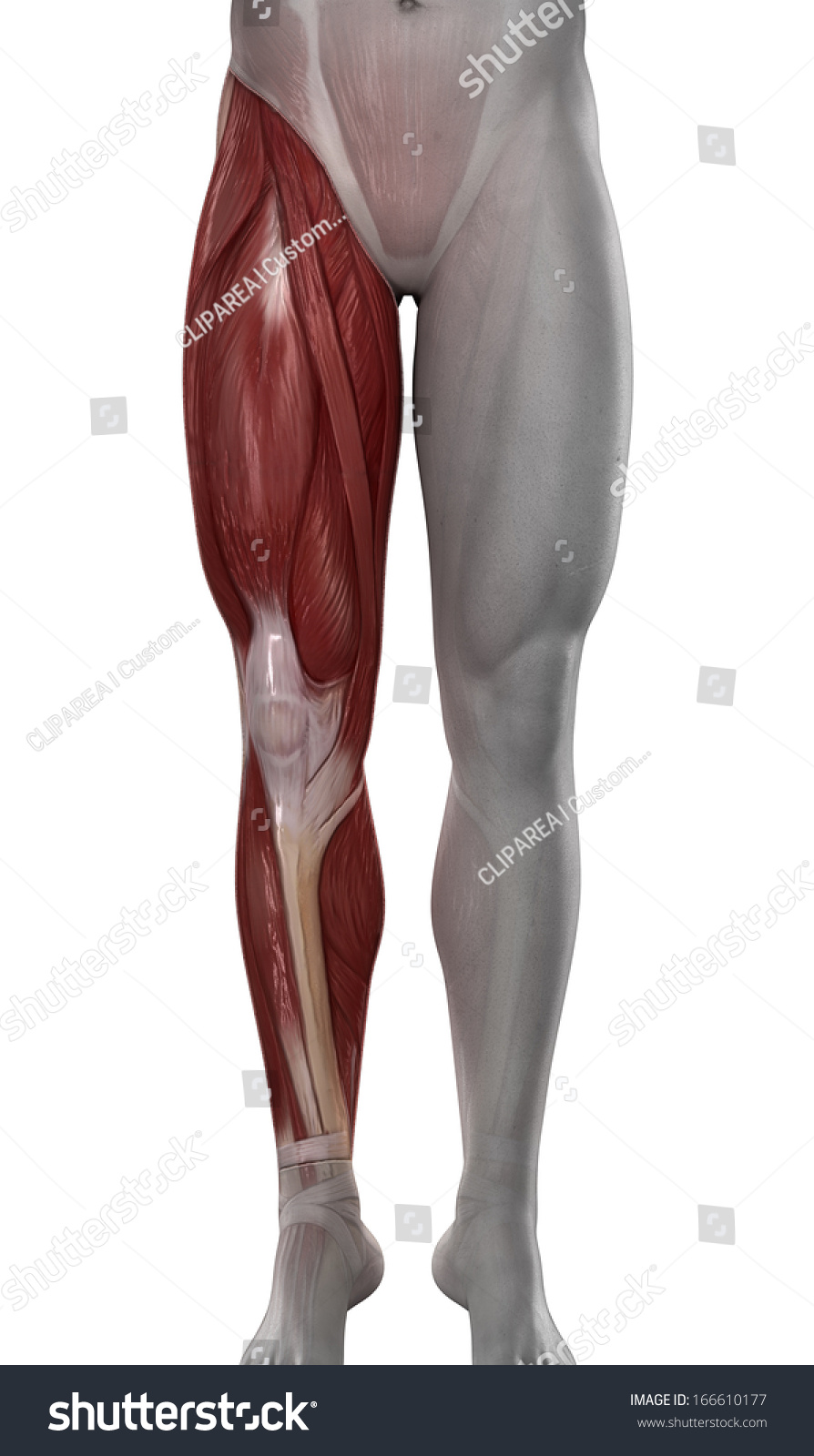 Royalty Free Stock Illustration Of Male Leg Muscles Anatomy Isolated