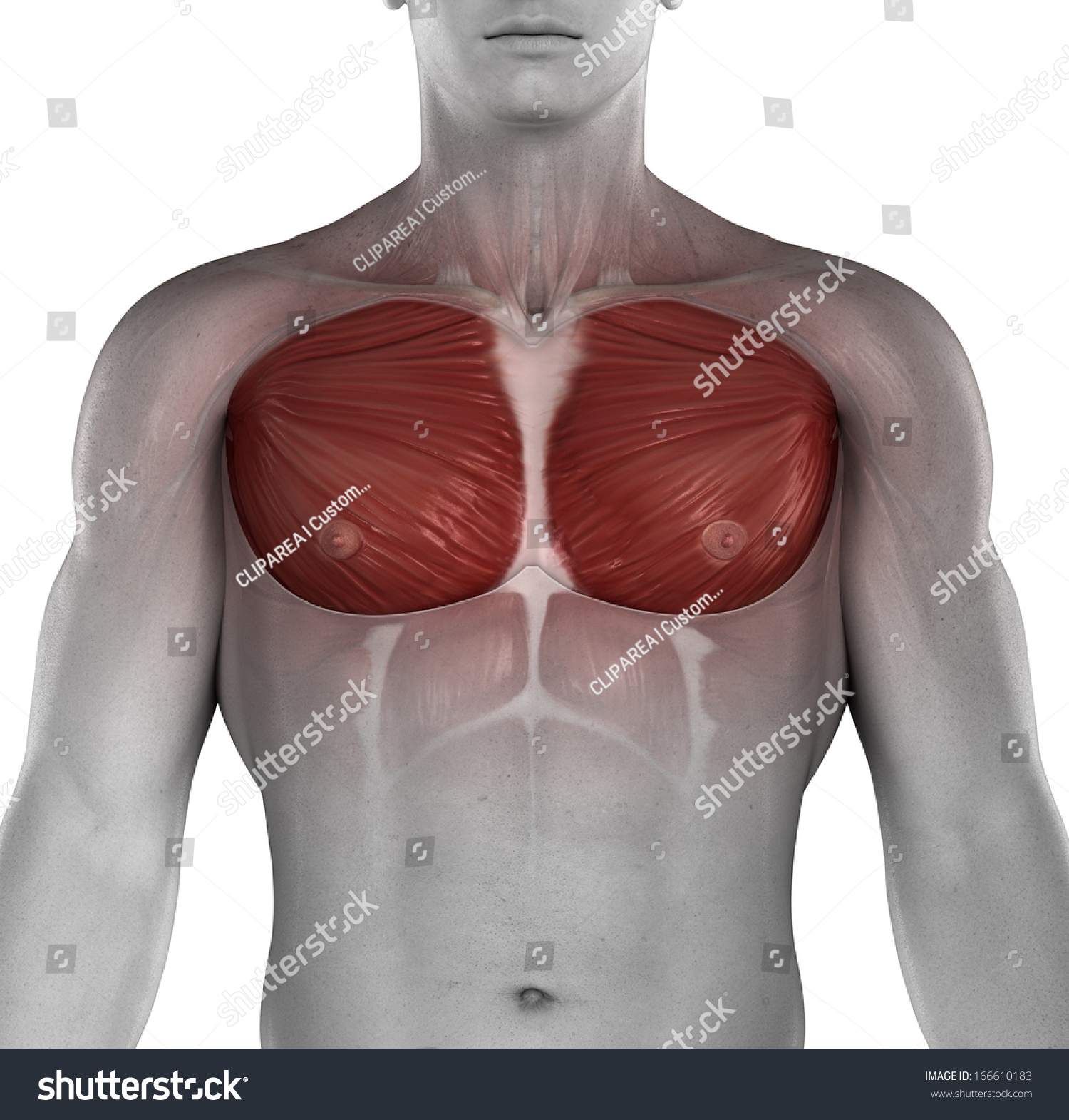 Male Muscle Chest Anatomy Stock Illustration 166610183 - Shutterstock