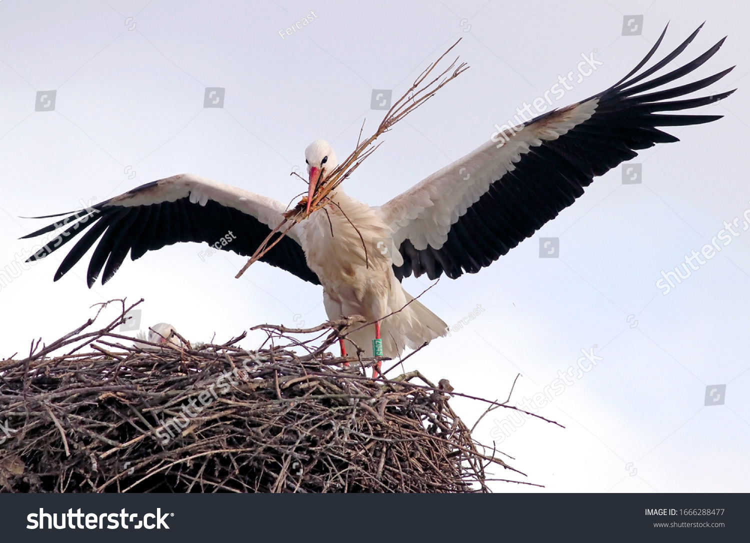 stock-photo-beautiful-white-stork-ciconi