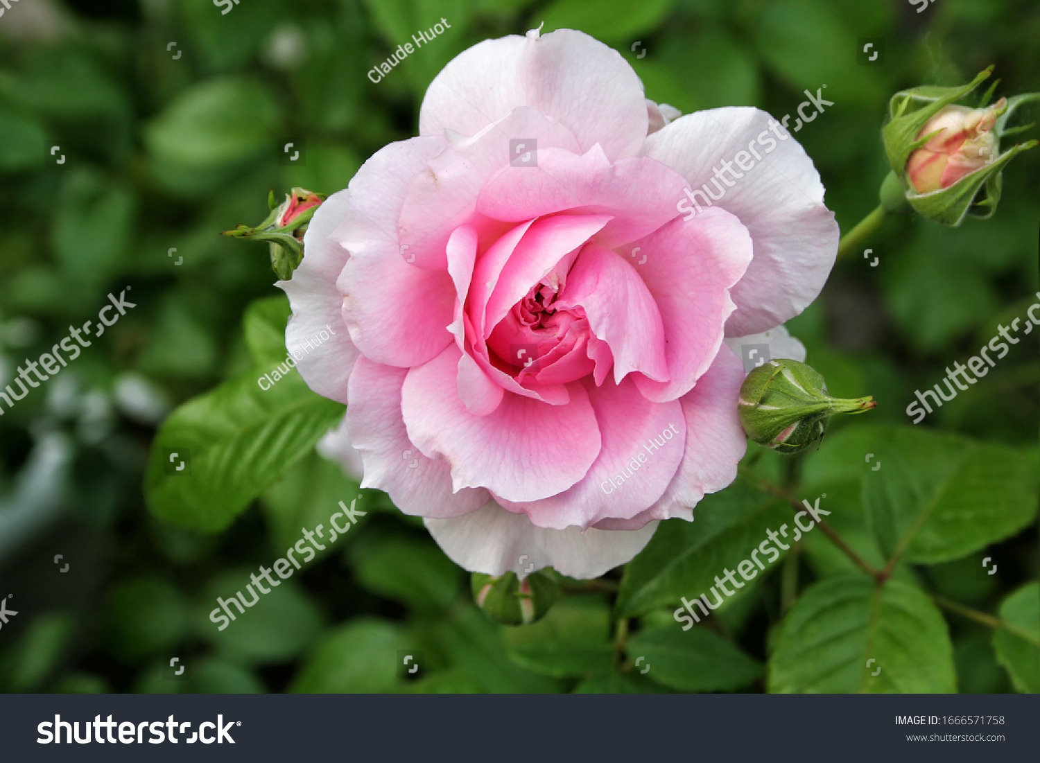 Beautiful Floribunda pink rose and buds with a natural green foliage in the background in a home garden.