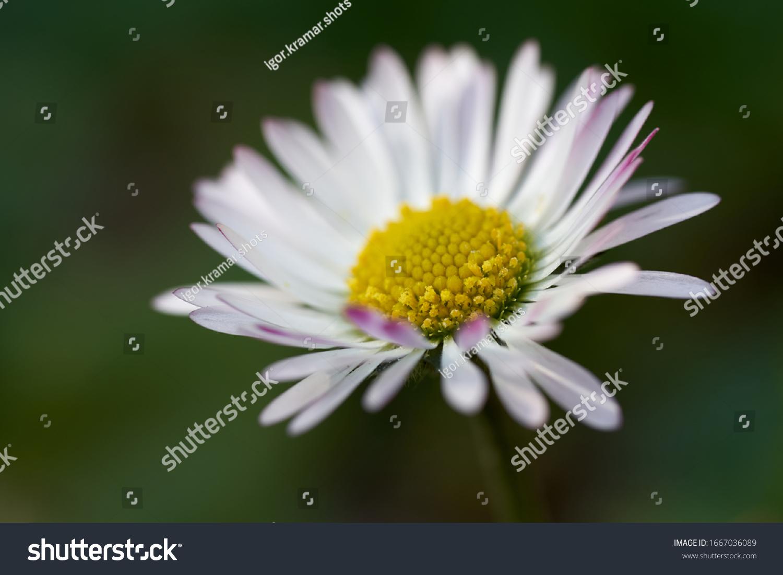 stock-photo-wild-flower-bellis-perennis-