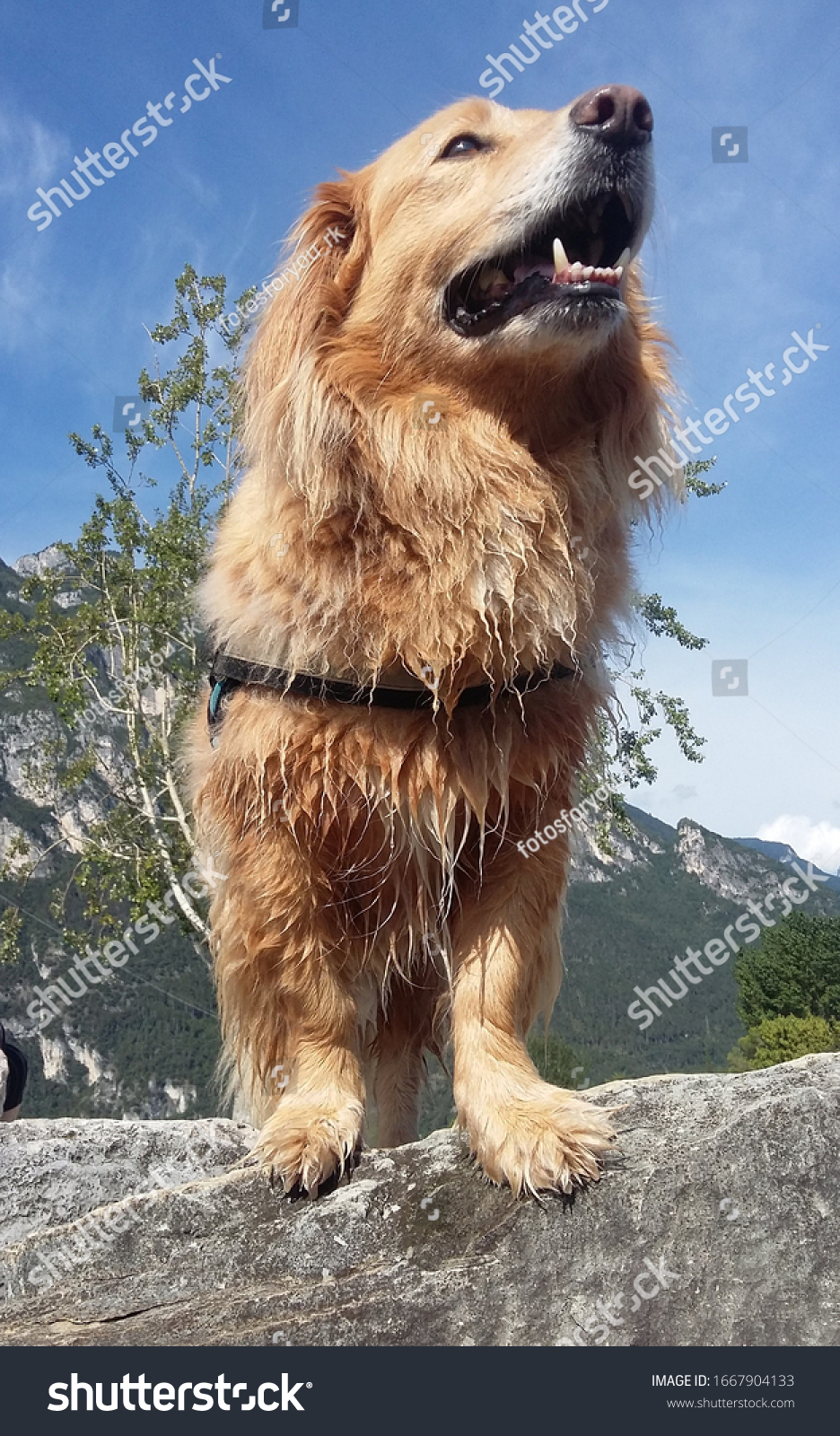 stock-photo-dog-golden-retriever-photographed-from-a-slightly-different-perspective-1667904133.jpg
