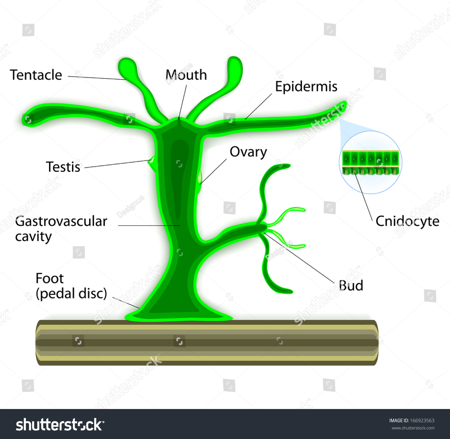 Hydra Life Cycle Diagram Trusted Wiring Diagrams Hydradiagram Scientific Research Agenda Plant Residential Electrical Symbols U2022 Of Echinoderms
