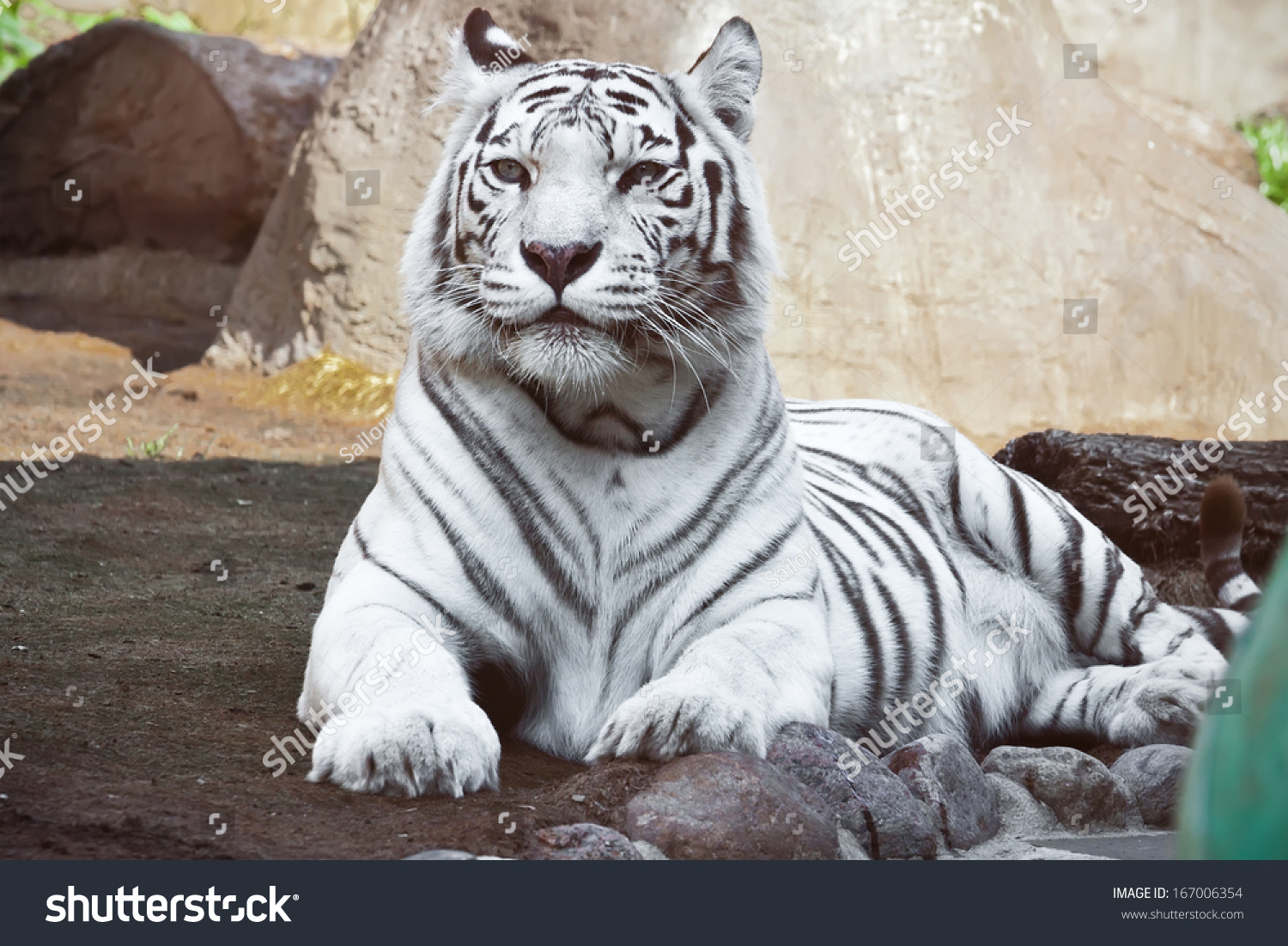 Beautiful close-up portrait of majestic White Tiger #167006354