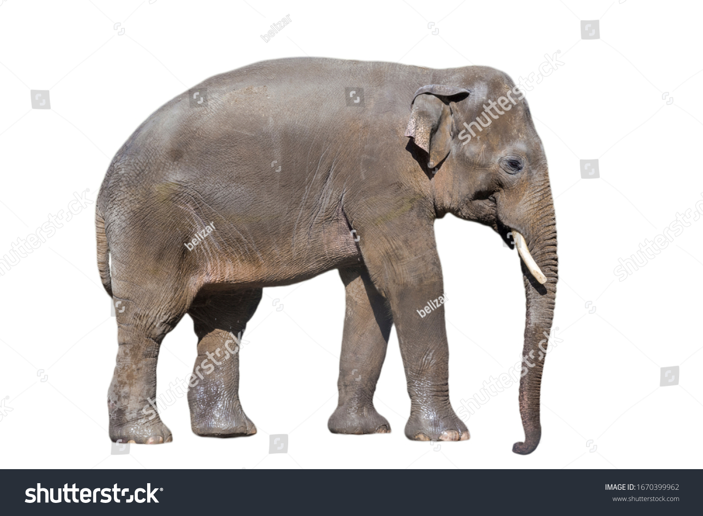 Asian elephant Elephas maximus isolated with white background  #1670399962