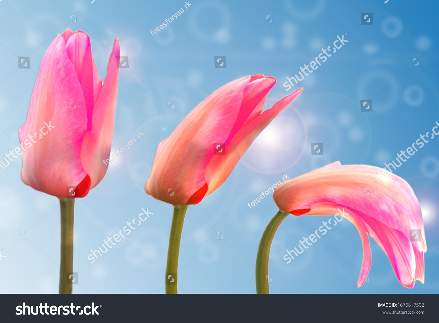 stock-photo--tulip-from-fresh-to-withere