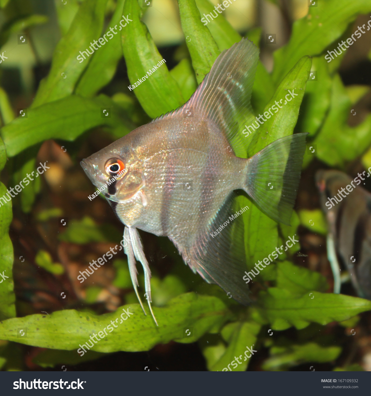 Freshwater aquarium fish angelfish - Altum Angelfish Freshwater Aquarium Fish Stock Photo 167109332 Shutterstock