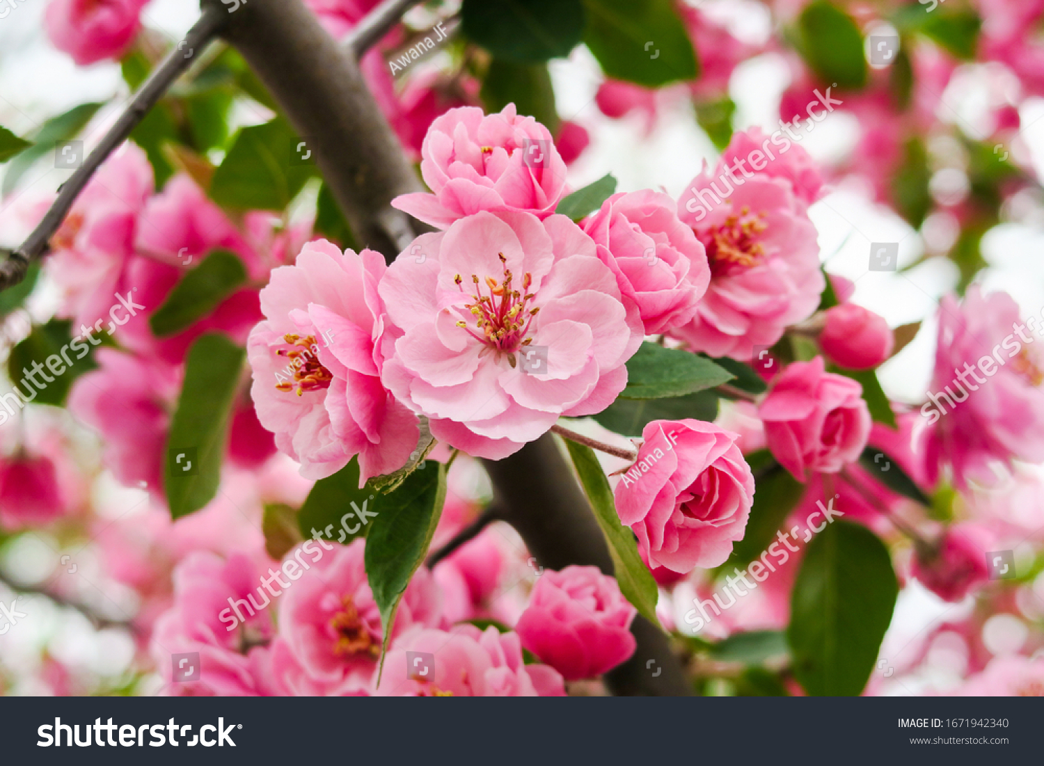 Close up view of beautiful cherry blossom flowers