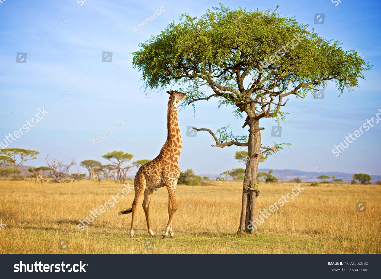 Giraffe Eatting Acacia Tree Leafs In Grumeti In Tanzania #1672550830