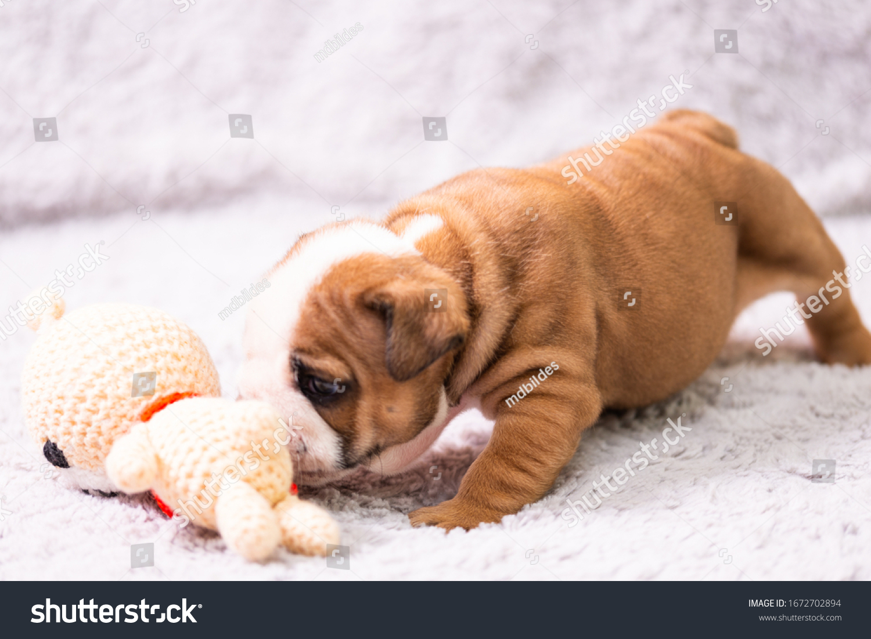 Small Little English Bulldog Puppy Baby Stock Photo Edit Now 1672702894