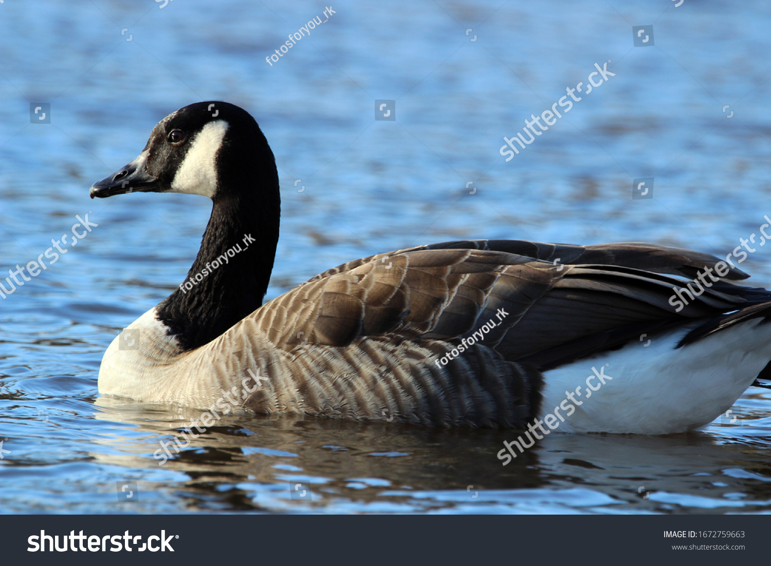 Canadian goose on a large lake