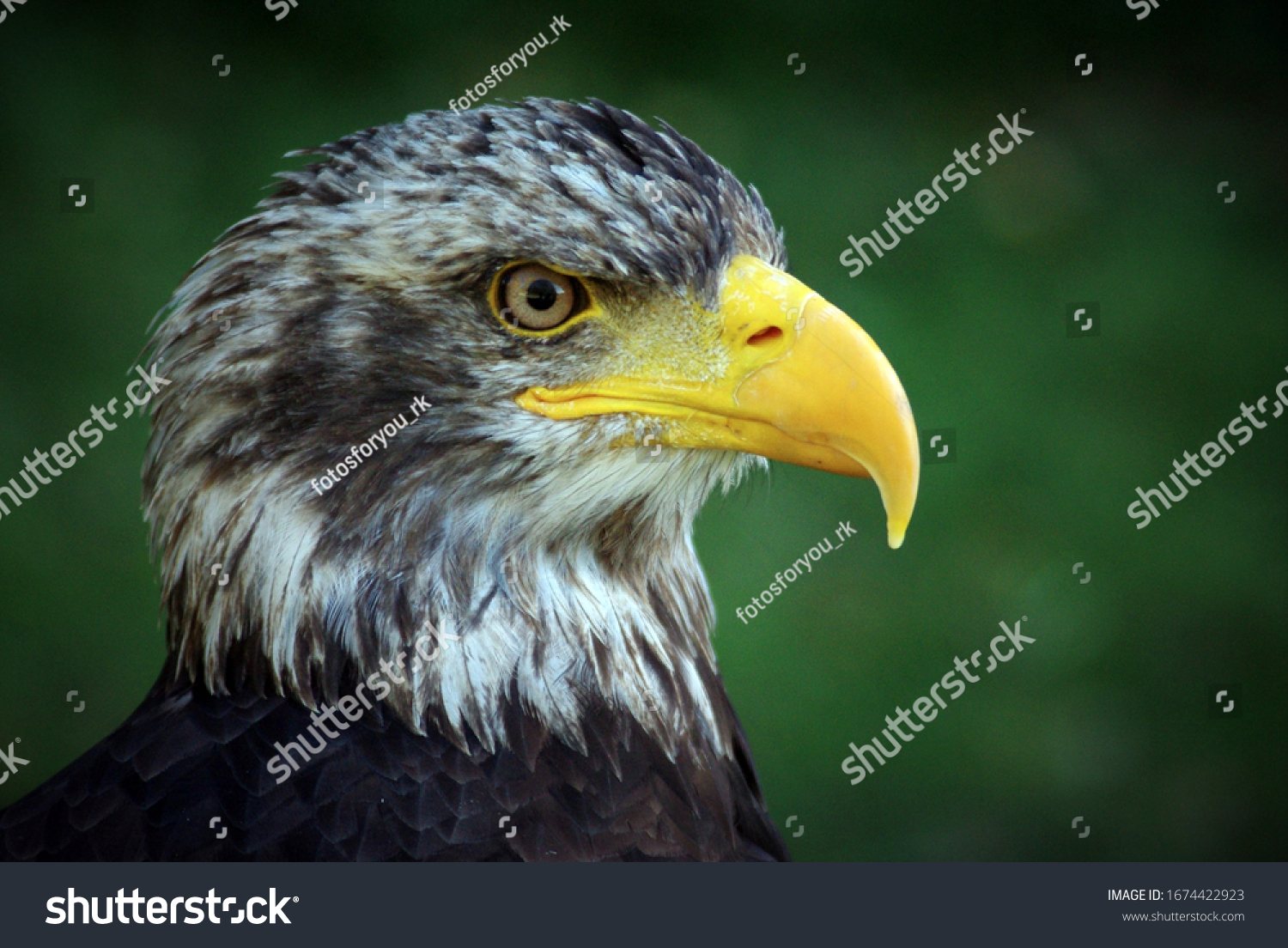 stock-photo-bald-eagle-with-green-background-1674422923.jpg