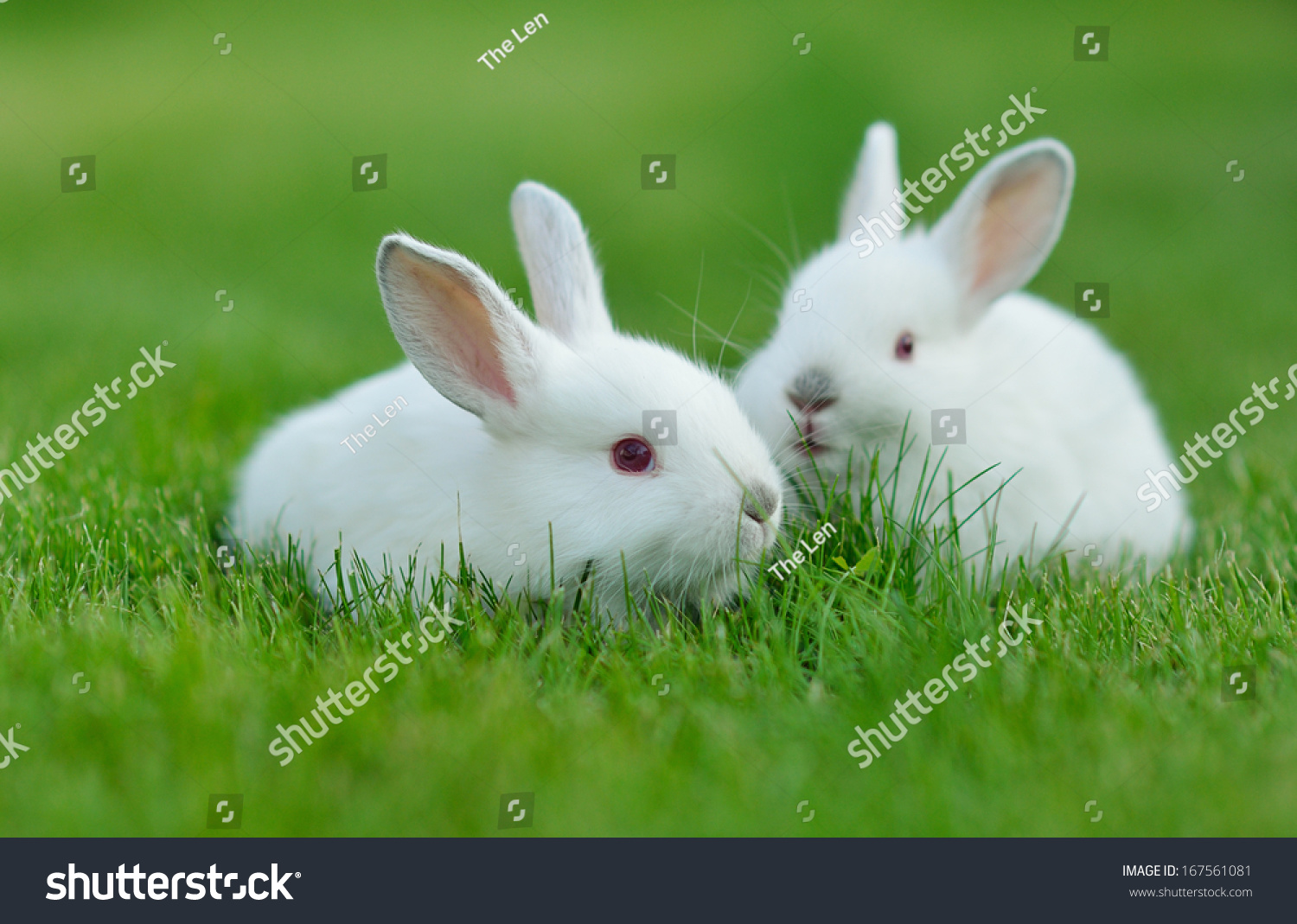 File:White bunny.jpg |Awesome Baby White Bunnies