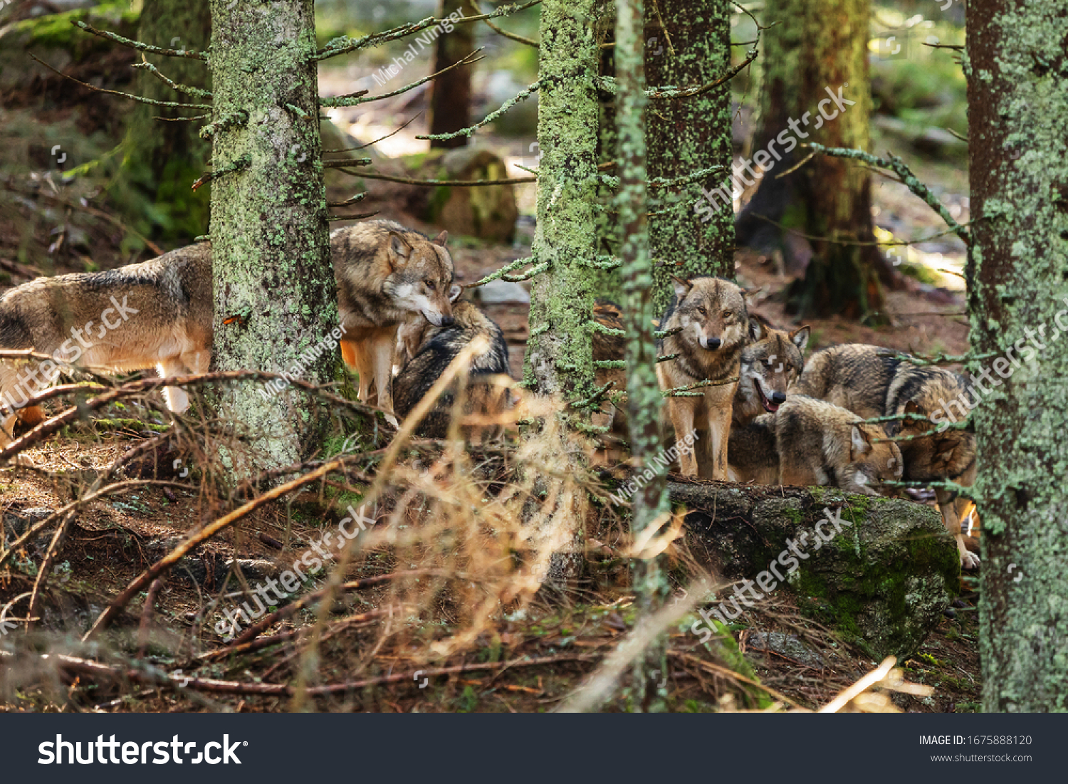 gray wolf (Canis lupus)  showed up in the old forest
